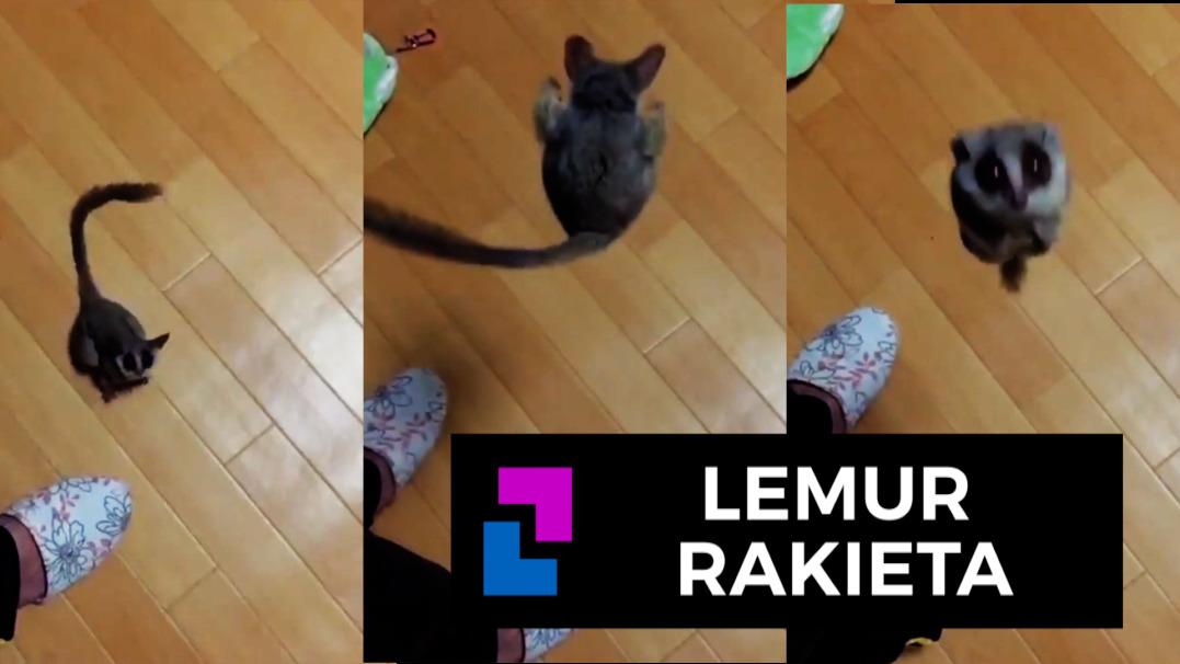 Jak wysoko skacze lemur?