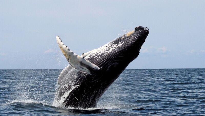 Płetwy humbaków przypominają skrzydła (Wikipedia (CC BY-SA 3.0)/Whit Welles)