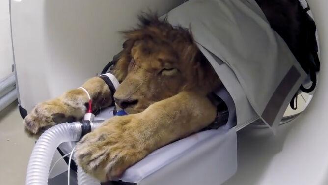 Grzeczny pacjent to śpiący pacjent. <br />Wielki kot w wielkiej maszynie