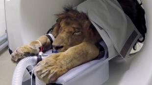 Grzeczny pacjent to śpiący pacjent. Wielki kot w wielkiej maszynie