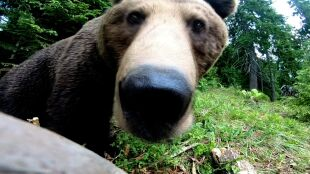 """Chcą strzelać do niedźwiedzi. """"Martwię się o życie mieszkańców i turystów"""""""