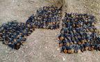 Kolonię rudawek z australijskiego Campbelltown przetrzebił upał