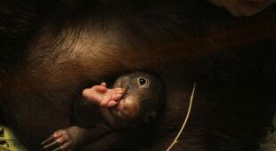 Wombat Apari z zoo w Duisburgu